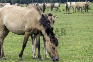 Stute mit Fohlen, Wild lebende Pferde im Merfelder Bruch, Dülmen, Nordrhein-Westfalen, Juni,