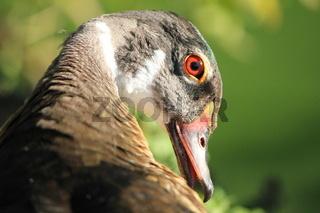 duck brown