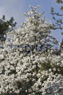 Stern-Magnolie, Magnolia stellata in Blüte