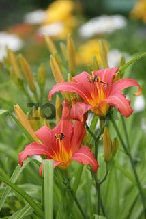 Hemerocallis, Taglillie, dayliliy