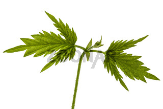 Young shoots of hops, isolated on white background