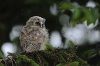 das Nesthäkchen... Waldohreulenästling *Asio otus* sitzt in einem Nadelbaum und schaut sich um