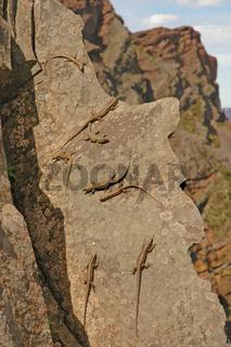 Mauereidechsen auf Madeira