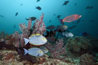 Graue Doktorfische am Riff, Indonesien