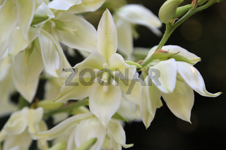 Fädige Palmlilie, Narrow-leaf yucca, Yucca filamentosa