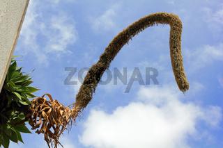 Blütenstand der Drachenbaum-Agave, Agave attenuata
