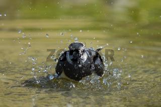 Kiebitz -Vanellus vanellus - european Lapwing-