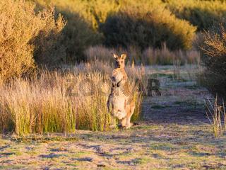wild kangaroo in Australia
