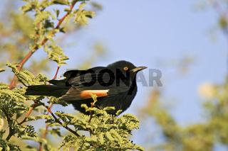 Rotschulterglanzstar, Agelaius phoeniceus, Namibia, Afrika, Starling, Namibia, Africa