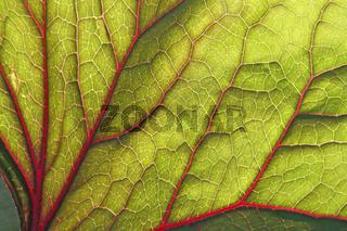 Backlite leaf of ligularia