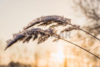 winter plant hoarfrost