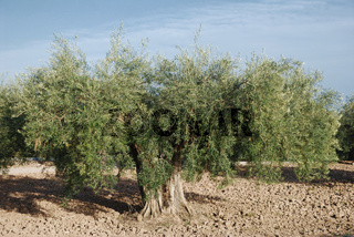 Olivenbaum , olive tree