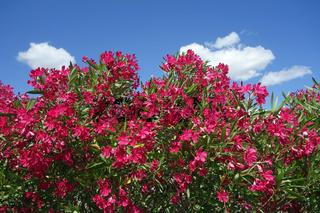 bluehender oleander vor blauem wolkenhimmel
