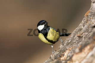 Kohlmeise, Deutschland, Parus major, Great Tit, Germany