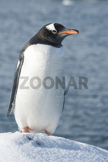 Gentoo penguin who stands on the edge of a snow-covered cliff on background of ocean