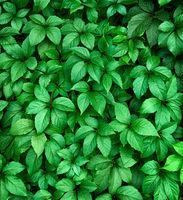 Background of green leaf