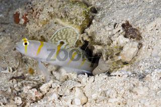 Randalls Waechtergrundel, Knallkrebs, Amblyeleotris randalli, Alpheus rapicida, Turtle Cove, Randalls Prawn-Goby, Shrimp