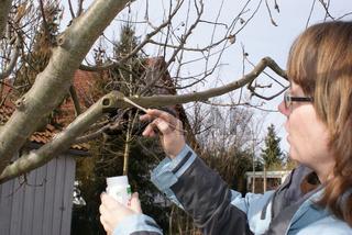 Malus domestica, Apfelbaum, Wundverschluss