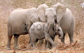 Elefantenfamilie im Kruger Nationalpark Südafrika; family of african elephants, south africa, wildlife