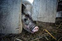 Minipigs on the Farm