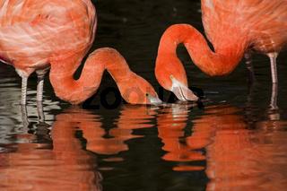 Rosa Flamingo (lat: Phoenicopterus ruber, en: Greater Flamingos)