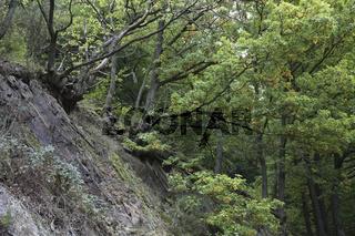 Traubeneichen auf Eifeler Schiefergestein im Kermetergebiet, Quercus petraea, Sessile Oak, Slate