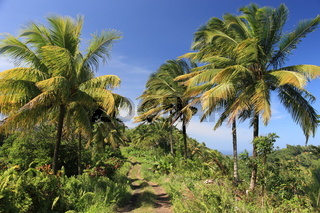 Palm trees on Dominica