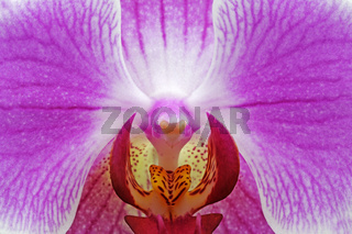 Blüte einer Orchidee (Phalaenopsis spec.),