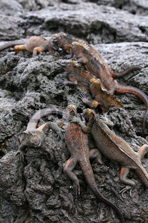 Marine iguanas on Santiago Island in Galapagos National Park, Ecuador