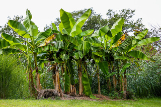 Banana plantation trees in a forest
