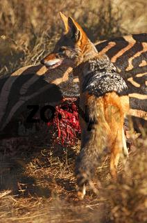 Schabrackenschakal am Zebra Kadaver