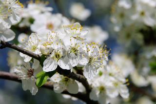Pflaumenbaumbluete - plum blossom 26