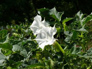 Datura stramonium, Stechapfel, thorn-apple