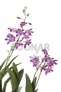 Orchidee Dendrobium auf weiss