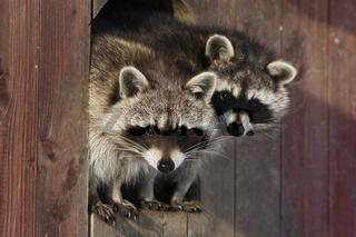Waschbaer, (Procyon lotor), Raccoon