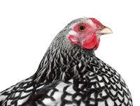 Plymouth Rock Hen
