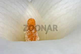 Zimmercalla (Zantedeschia aethiopica), Südafrika