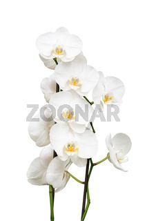 orchid isolated on white background