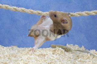 Goldhamster, Mesocricetus auratus, Golden Hamster