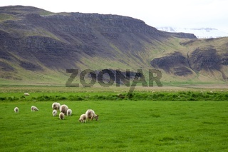 Schafherde im Süden von Island