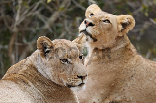 Zwei Löwinnen, Kruger NP, Südafrika - two lionesses, Kruger NP, South Africa