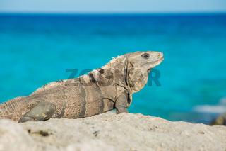 Iguana in wildlife. Cancun, Mexico