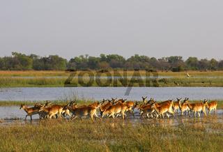 Ein Rudel Roter Lechwes (Kobus leche) am Rande eines Sumpfgebietes
