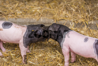 Two piglets playing