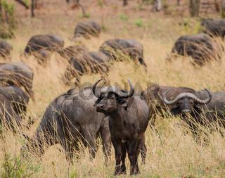 Kaffernbüffel in der Savanne vom in Simbabwe, Südafrika