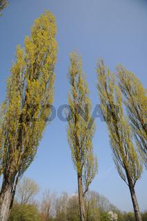 Populus nigra Italica, Saeulenpappel, Fastigiate Black Poplar