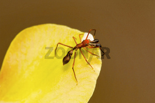 Ant mimicking spider, Myrmarachne plataleoides, Bangalore, Karnataka. MimicstheKerenggaorweaver ant. India,Sri Lanka,Chinaand many parts ofSoutheast Asia.