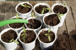 Solanum lycopersicum, Tomaten, tomatoes, Sämlinge