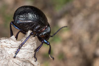 A species of dung beetle in the field