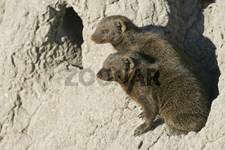 Suedliche Zwergmanguste, Manguste (Helogale parvula) auf einem Termitenhuegel, Moremi-Nationalpark, Moremi Wildlife Reserve, Okavango Delta, Botswana, Afrika, Common Dwarf Mongoose on termite hill, Africa